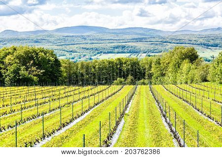 Vineyard Grapevine Rows By Winery During Summer In Ile D'orleans, Quebec, Canada With View Of Saint