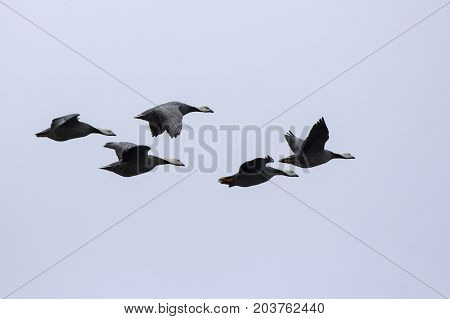 small flock of Emperor goose flying over the islands in the autumn cloudy day
