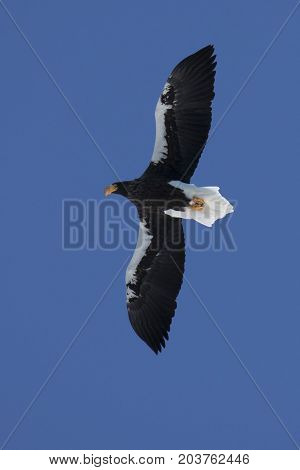Steller's sea eagle hovering over Avachinsky bay on a clear sunny winter day