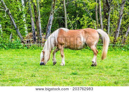 Farm Summer Landscape With Brown Tan Horse Grazing, Walking In Paddock Field Of Bright Yellow Dandel