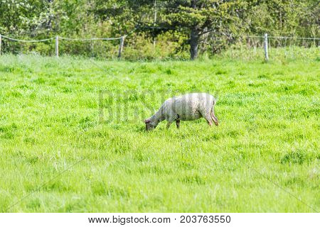 One White Sheep Grazing On Green Pasture Field In Ile D'orleans, Quebec, Canada By Forest
