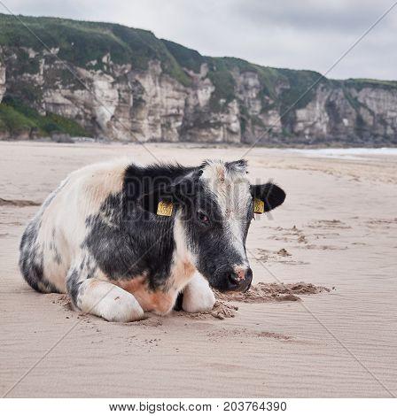 Cow at Whitepark Bay, Antrim, Northern Ireland, on a sunny summer day
