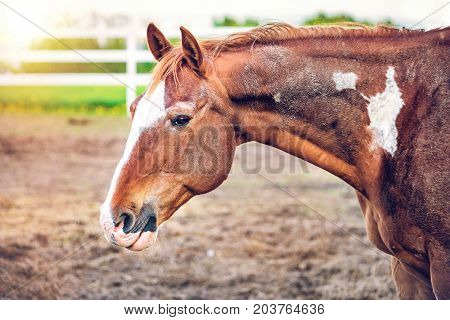 Closeup Of Brown Tan Horse By White Wooden Fence In Farm Dirt Field Paddock In Soil Landscape With S