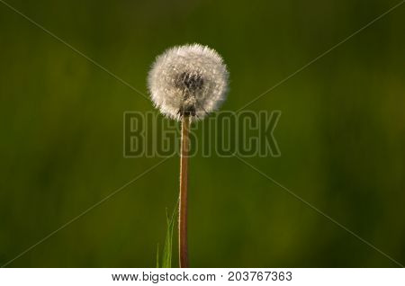 Dandelion seeding, Taraxacum sect.ruderalia, lit seeds with heavy green bokeh background and a grass sraw on the side