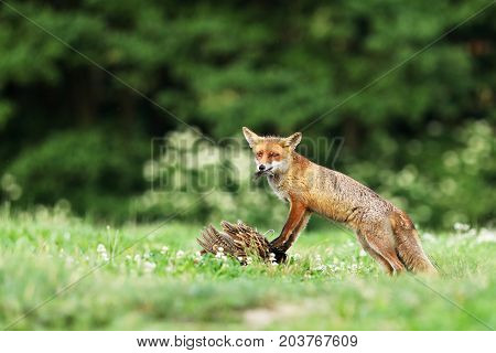Adult red fox guarded catch bird on meadow in early morning - Vulpes vulpes