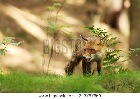 Adult red fox male in forest in sunny day - Vulpes Vulpes
