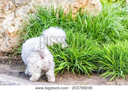 Back Of Small White Curly Poodle Dog Sniffing Green Bushes In Garden With Large Rock Or Stone