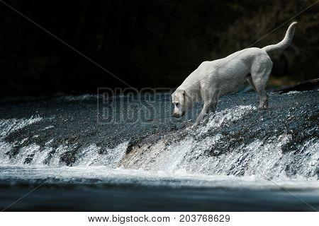 Labrador retriever dog standing in a water stream