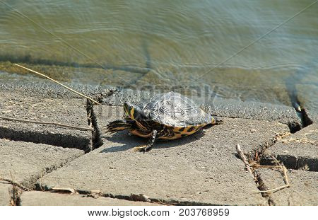 yellow-bellied slider (Trachemys scripta scripta) turtle abandoned to take care of itself basking in the sun on the bank of a dam