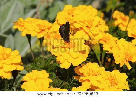 butterfly feeding itself on blooms of African marigolds