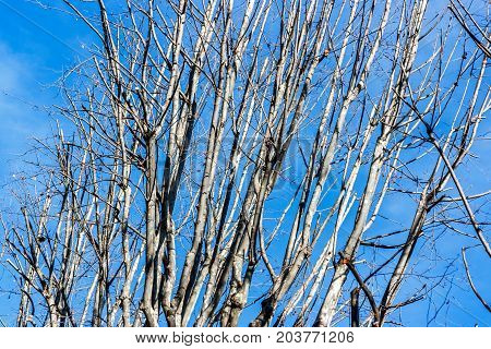 Contrasty picture of dry branches over a blue sky Turin Italy