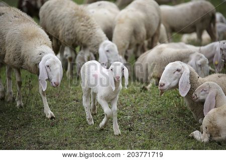 Young Lamb In The Middle Of The Flock Of White Sheep
