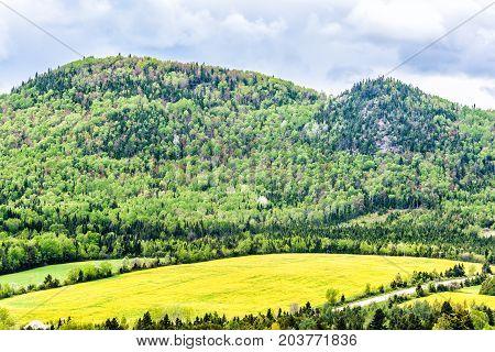Patch Farm Field Hills Of Yellow Dandelion Flowers In Green Grass In Quebec, Canada Charlevoix Regio