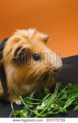 Portrait of cute red guinea pig eating parsley.