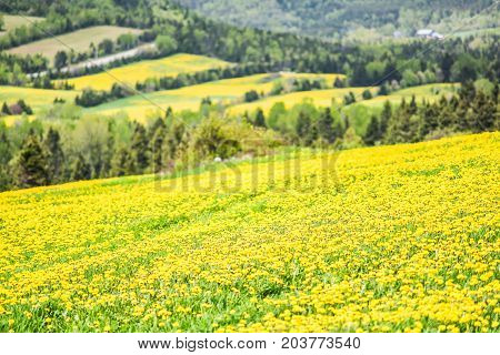 Closeup Of Patch Farm Field Hills Of Yellow Dandelion Flowers In Green Grass In Quebec, Canada Charl