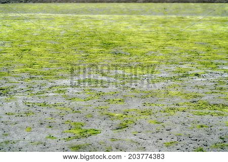 Green algae on a surface of the lake.