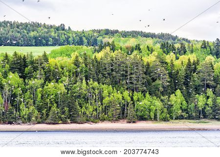 Many White Seagulls Birds Flying In Flock Group Against Pine Tree Forest Background In Saint Lawrenc