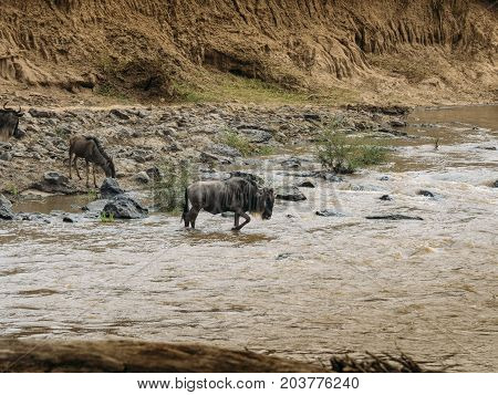 Wildebeest (connochaetes Taurinus) Crossing The River Mara, Masai Mara, Kenya.