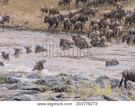 Wildebeest Connochaetes taurinus crossing the river Mara Masai Mara Kenya.