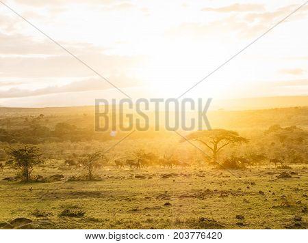 Wildebeest Connochaetes taurinus sunset Masai Mara Kenya