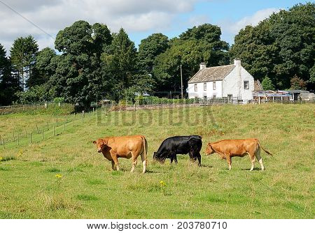 Bulls on a Scottish farm. Forfar, Scotland - August 02, 2017 Cattle on a pasture at a farm on the periphery of the Scottish town of Forfar.