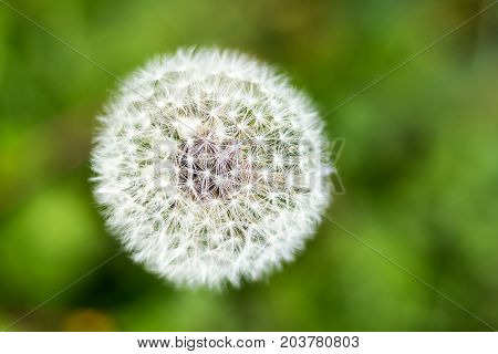 Top view of a common dandelion Taraxacum officinale , a flowering herbaceous perennial plant of the family Asteraceae. The round ball of silver tufted fruits is called a blowball or clock