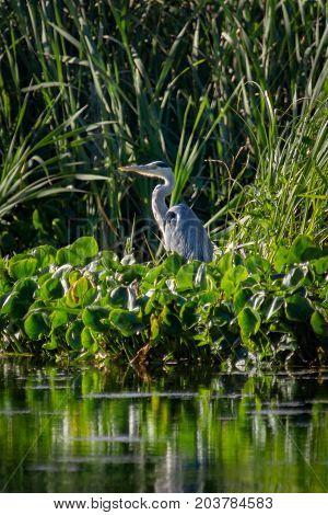 Great Blue Heron. Great Blue Heron sitting, in a wetland area