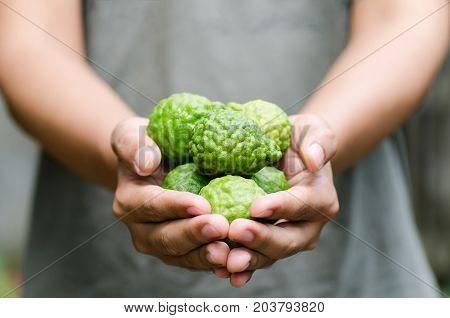 Bergamot or Kaffir Lime fruit holding by hand.Thai herbal plant