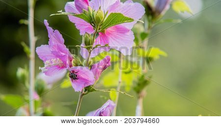 Closeup of a bee gathering nectar from a pink rose of Sharon flower