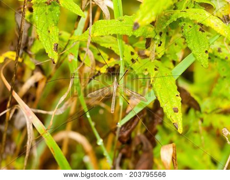 A Flying Daddy Long Legs Fly Resting Up Close Summer