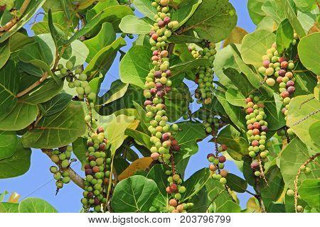 Ripening Sea Grape Clusters in Antigua Barbuda Lesser Antilles, West Indies, Caribbean.