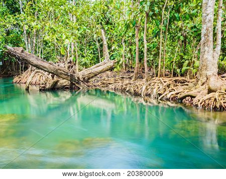 Scenic mangrove forest ecosystem with Mangrove roots and blue water at Krabi Thailand.