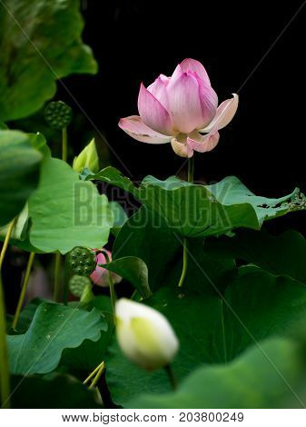 Pink lotus flower and green leaves in natural pond