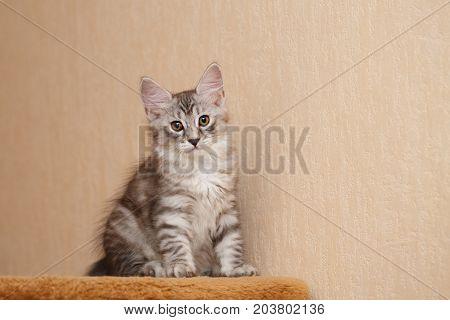 Cute little kitty Bobtail. Pets. Hypoallergenic cat breed. Portrait of a tabby cat. Lovely look