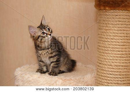Cute little kitty Bobtail sitting on a shelf. Pets. Hypoallergenic cat breed. Portrait of a tabby cat.