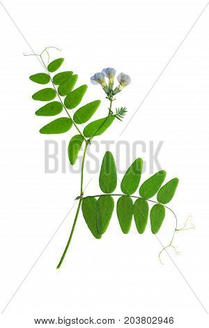 Pressed and dried flower forest peas isolated on white background. For use in scrapbooking floristry or herbarium.