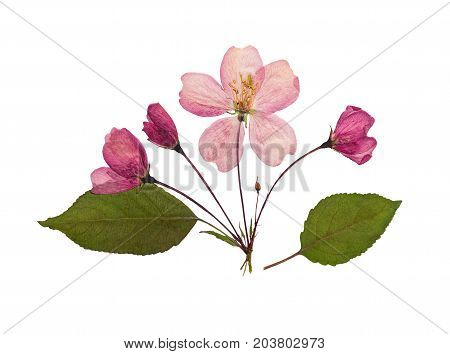 Pressed and dry pink bud flower of apple on racemes with leaves. Isolated on white background. For use in scrapbooking pressed floristry or herbarium.