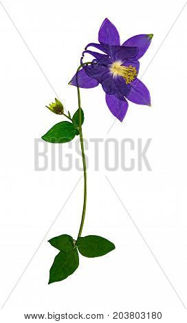 Pressed and dried flower aquilegia vulgaris isolated on white background. For use in scrapbooking pressed floristry or herbarium.