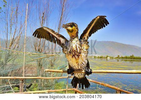 Portrait of cormorant on a wooden stick