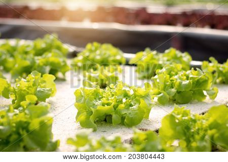 Vegetables hydroponics. Hydroponics method of growing plants using mineral nutrient solutions in water without soil. Close up Hydroponics plant.