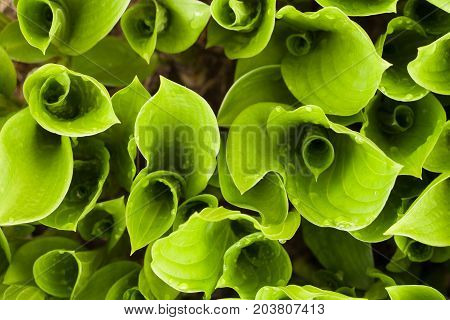 Gently Blurred Background Texture Of Green Sprout Plants Of Hosta Top View.