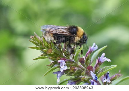 Fluffy Bumblebee resting on a Blue flowers.