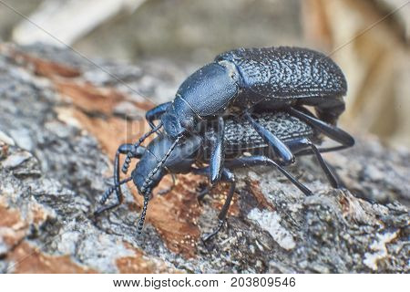 Ground beetles occupied procreation in the forest.