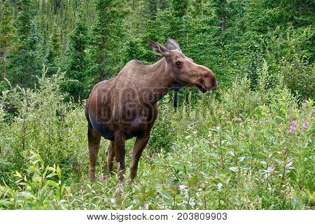 Denali National Park, USA, A moose cow in the Denali National Park in the USA.