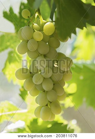 vertical image of plump white grapes hanging on a vine backlit buy the morning sun bokeh affect in the green background