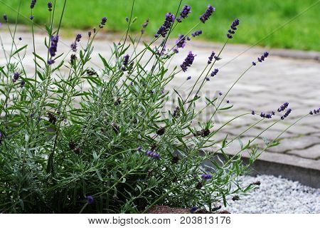 Pebbled path in the garden with lavender on flowerbed .