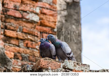 Couple of rock pigeon with a brick background. Couple of rock pigeon are making love. Couple of rock pigeon are kissing in Thailand.