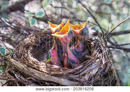Three young baby birds in a nest with mouth beaks wide open waiting to be fed
