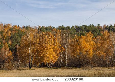 Autumn forest with golden birches and green coniferous fir trees and dried grass on the field on a clear sunny day with a blue sky.