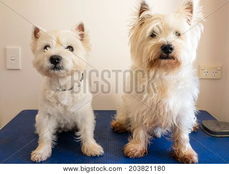 Two west highland white terrier westie dogs on grooming table one dog has had haircut other is scruffy and dirty